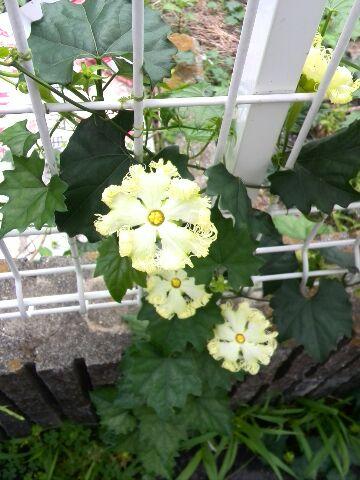 からすうりの花